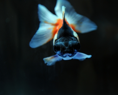 funny goldfish in fishbowl with funny action.  photo