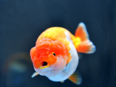 lion head goldfish in fish tank. Stock Photo - 13647331