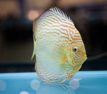 Close up discus fish in a aquarium.