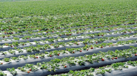 Agriculture farm of strawberry field. Stock Photo - 13695820
