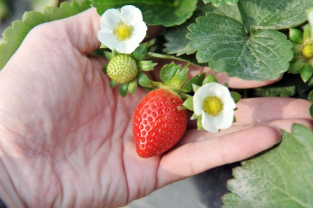 Closeup of fresh organic strawberries growing on the vine  photo
