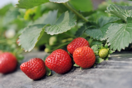 Strawberry bush growing in the garden  photo