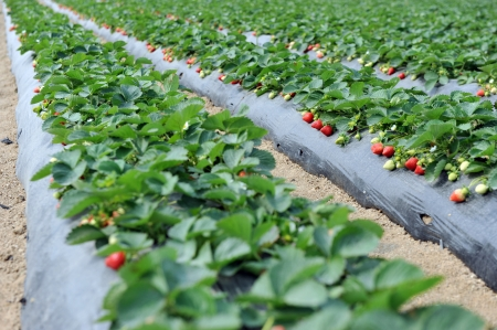 Agriculture farm of strawberry field. photo