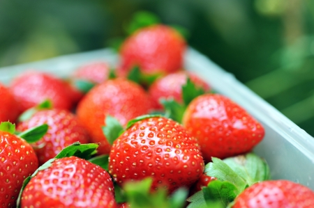 strawberries in a basket in the garden.  photo