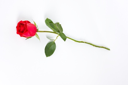 Isolated long stem red rose bud on white background.