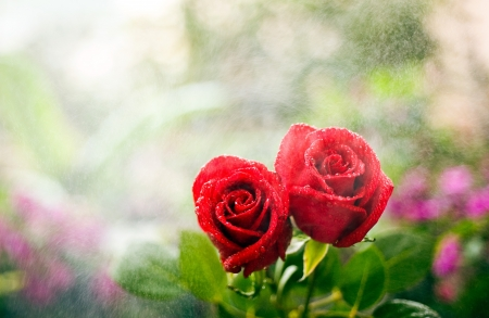 Two roses nestle together in the rain.