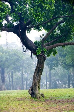 banyan tree: Banyan tree in south Chinese park.