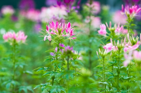 Close up of beautiful Cleome Spinosa. photo