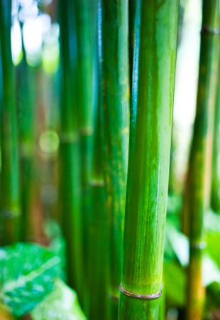 Zen bamboo forest green background photo