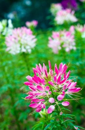serene landscape: Close up of beautiful Cleome Spinosa.