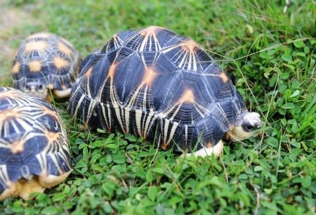 radiated: Three radiated tortoises on grass, endemic from Madagascar.  Stock Photo