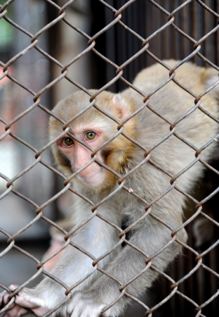 Sad heartbreaking alone monkey in the cage.  photo