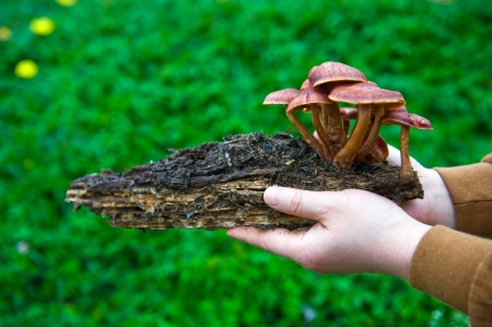 deadwood: Group of mushrooms grow from deadwood in humans hands.