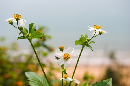daisy flower in the wild. photo