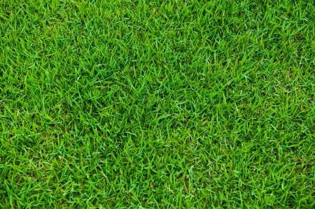 trimmed: natural green trimmed grass field background for sports.