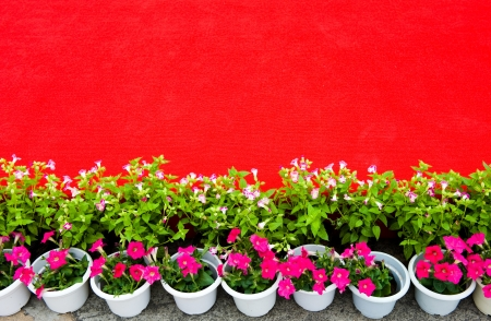 row of colorful flowers besides red carpet.  photo