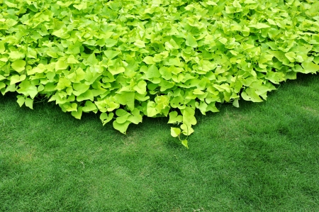 many green leaves cover on the lawn. photo