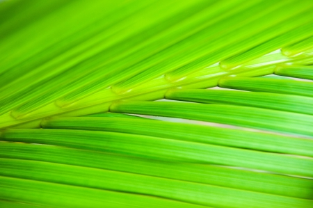 detail of green palm tree leaves texture. Stock Photo - 13781161