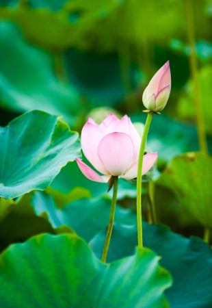 lotus flower and lotus bud over green (leaves) background.  photo