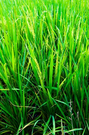 Paddy field with rice in China. photo