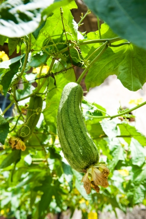 green loofah gourd and plant in a home garden. Stock Photo - 13831540