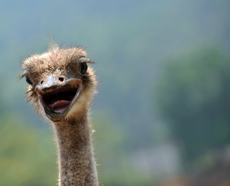 cheeky: closeup of an ostrich open the mouth. Stock Photo
