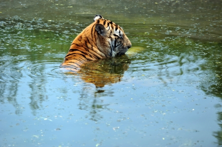manchurian tiger in the water. Stock Photo - 13831725