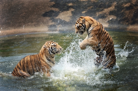 tigers play in the water Stock Photo
