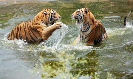 tigresa: los tigres juegan en el agua Foto de archivo