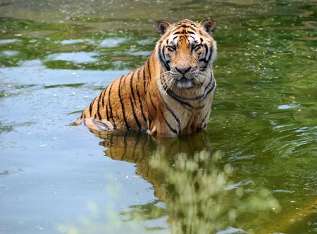 miry: manchurian tiger in the water.