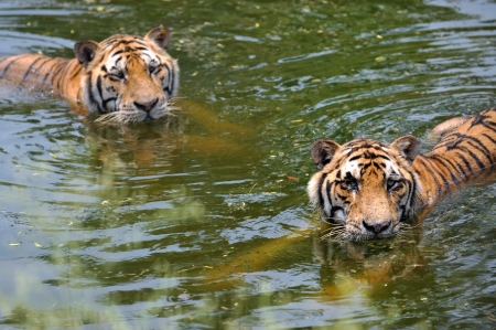 miry: two manchurian tigers in the water.