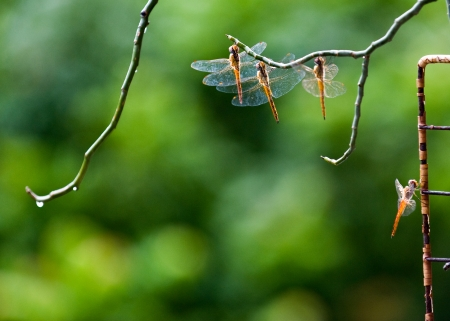 Four dragonflies at rest in a line. photo