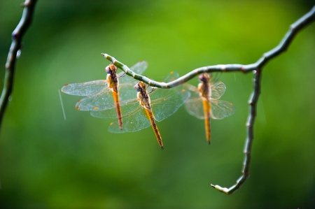anisoptera: Three dragonflies at rest in a line. Stock Photo