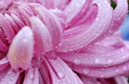 detail of water drop on pink daisy petals, shallow focus. photo