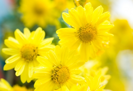 plantlife: Close up of yellow daisy , shallow focus.  Stock Photo