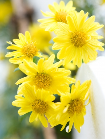 plantlife: Close up of yellow daisy .