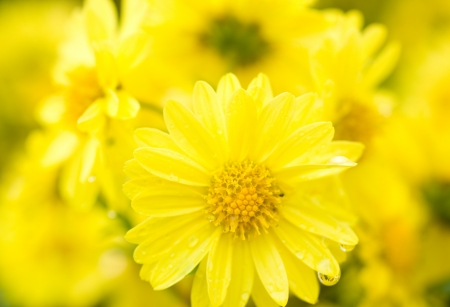 plantlife: Close up of yellow daisy with water drop on it, shallow focus.   Stock Photo
