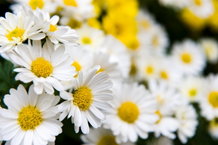 White and yellow daisies with water drop in a field, macro.  photo
