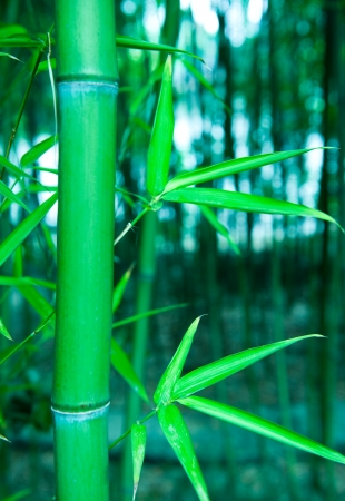 japones bambu: Hermoso el bambú verde y fresco. Enfoque selectivo