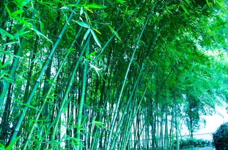Beautiful fresh green bamboo forest.  photo