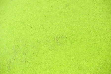 algal: Polluted pond with algal scum.