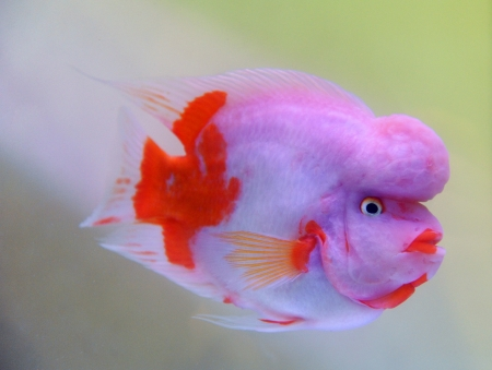 beautiful spectacular fish, with the name of