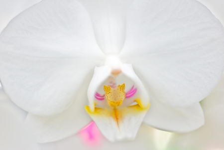 Macro shot of a Phalaenopsis Orchid.  The yellow and the pink in the lower corner is the stem.  photo