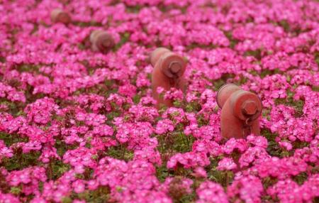 borne fontaine: Certains des bouches d'incendie rouges entourées de beaucoup de fleurs roses