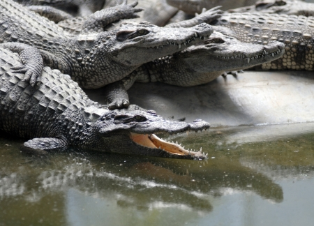 crocodile resting with mouth open photo