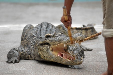 the performer feeding crocodile by two bamboo pole. photo