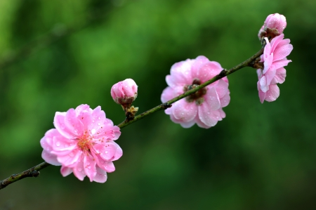 Peach blossoms in full bloom Stock Photo - 14011392