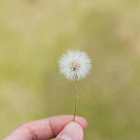 A dandelion blowing seeds in the wind  photo