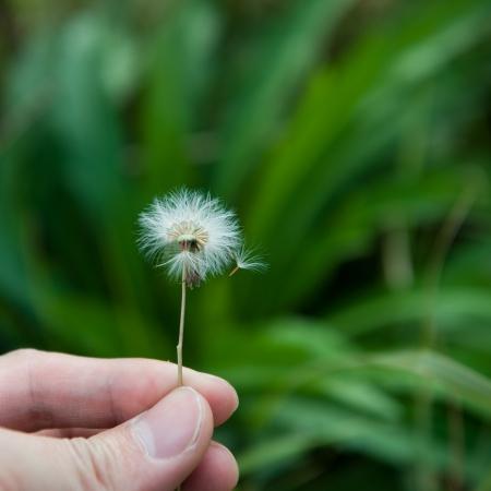 fuzz: A dandelion blowing seeds in the wind