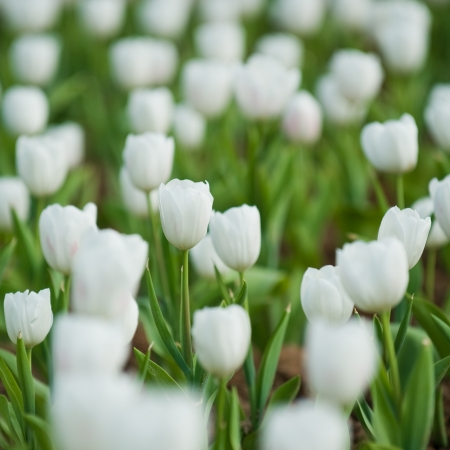 close up view of white tulips in the garden.  Stock Photo - 14048529